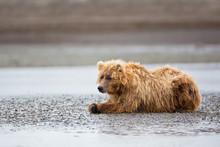 Brown Bear Resting On Beach