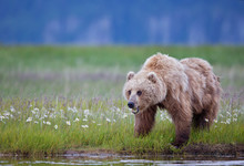 Brown Bear Eating Meadow Grass With Wild Flowers In Alaska