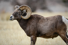 Bighorn Sheep Standing In The ...