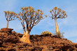 canvas print picture Landscape with rocky mountain and quiver trees (Aloe dichotoma), Northern Cape, South Africa