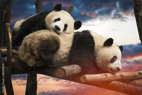 Poster Panda Big panda