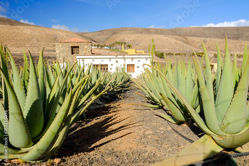 Aloe vera farm on Fuerteventura, Canary Island. Canvas Print