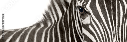 Aluminium Prints Zebra Zebra (4 years)
