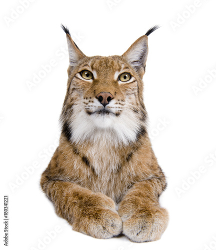 Poster Lynx Cropped view of Eurasian Lynx, lynx lynx, 5 years old, studio sh