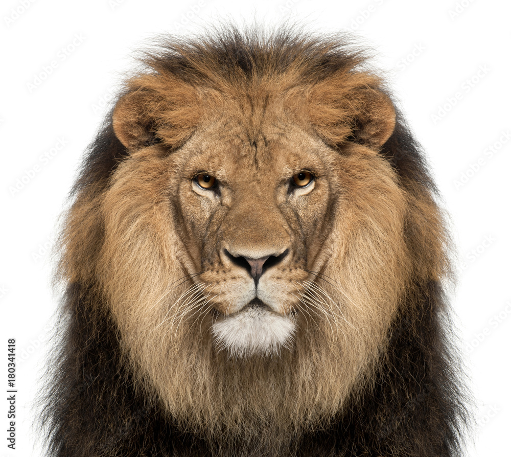 Fototapeta Close-up of lion, Panthera leo, 8 years old, in front of white background