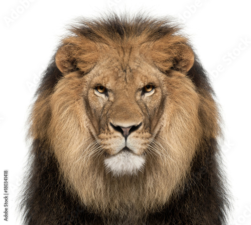 Foto op Canvas Leeuw Close-up of lion, Panthera leo, 8 years old, in front of white background