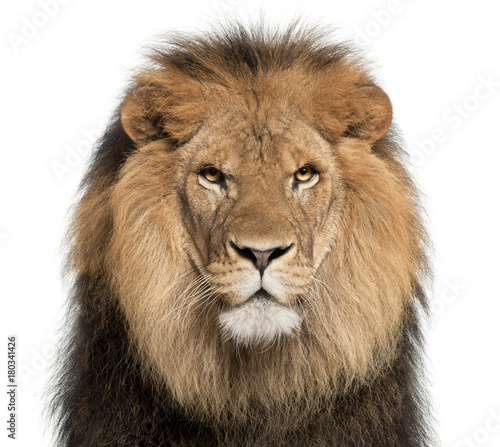 Spoed Fotobehang Leeuw Close-up of lion, Panthera leo, 8 years old, in front of white background