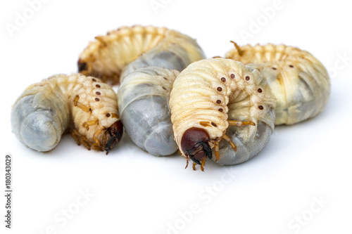 Image of grub worms, Coconut rhinoceros beetle (Oryctes rhinoceros), Larva.