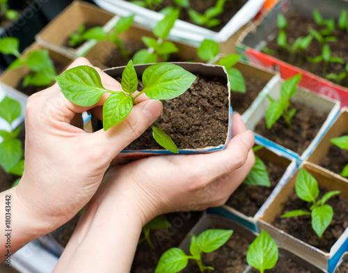 seedling in female hands