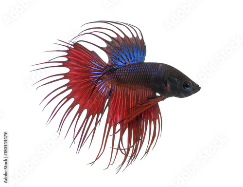 Side view of a Siamese fighting fish, Betta splendens, isolated