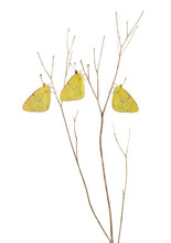 Clouded Sulphur Butterflies Landed On A Thin Branch, Colias Phil