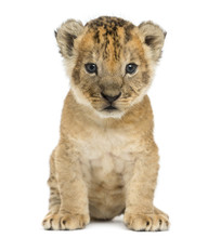 Lion Cub Sitting, Looking At T...