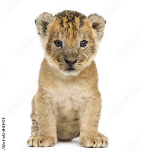 Lion cub sitting, looking at the camera, 16 days old, isolated on white