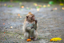 Macaque Sits On A Stone Path, ...