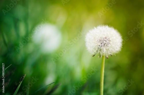 Fototapeta Biały dandelion na tle zielona trawa