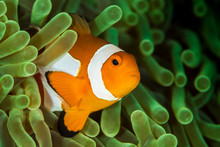 False Clown Anemonefish, Clown...