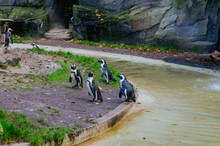 Penguins In The Artis Zoo, Amsterdam
