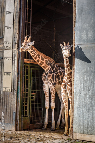 Fototapety, obrazy: Beautiful giraffes portraits - two giraffes looking from a wooden gate at the zoo