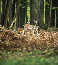 Fallow Deer Mother With Youngs...