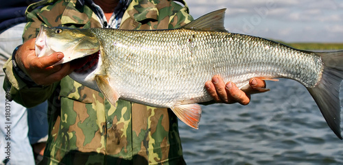 Photo Asp fish - Aspius Aspius
