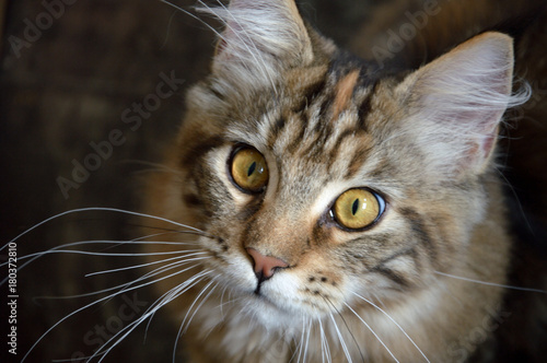 Fotografia  Maine coon cat
