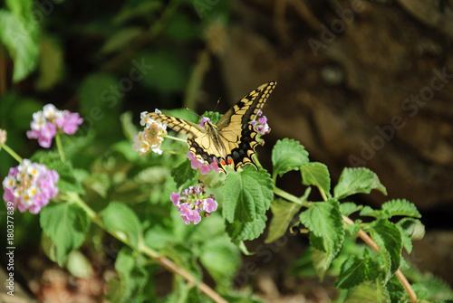 Plakat MOTYL - PAPILIO MACHAON (wspólny żółty swallowtail, Irapetra, Kreta, Grecja)