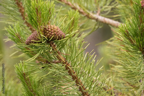 Fotografija  Pine Tree Branch with Pine Cones