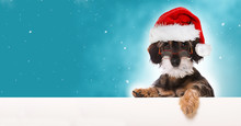 Dackelwelpe Mit Weihnachtsmüt.