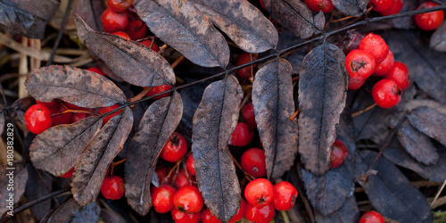 Fotografie, Obraz  dry autumn yellow-brown leaf of rowan and red ashberry on the ground