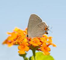 Tiny Grey Hairstreak Feeding On A Colorful Lantana Flower Against Light Blue Sky