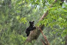 Bear Cub Climbing Tree Looking