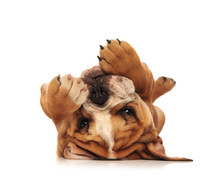 Adorable Little English Bulldog Puppy Laying On Its Back
