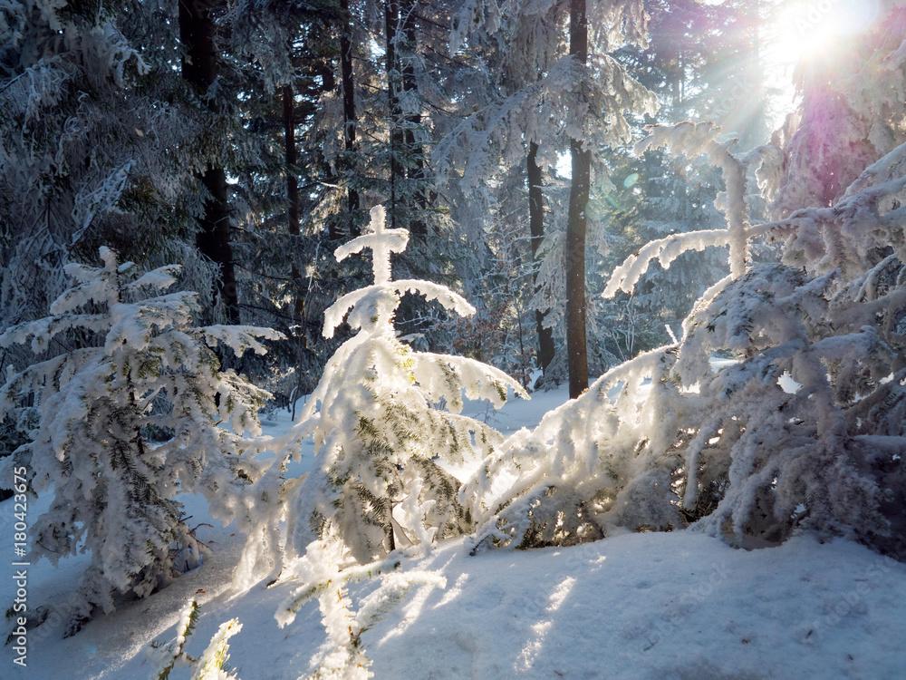 Fototapeta Światło słoneczne wśród drzew w zimowym górskim lesie