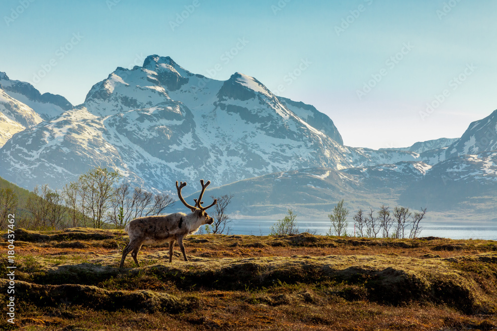 Fototapety, obrazy: A reindeer on a background of the mountains
