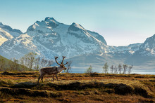 A Reindeer On A Background Of ...