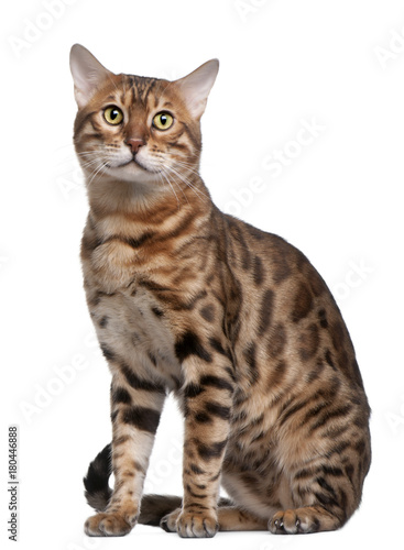 Photo Bengal cat, 18 months old, in front of white background