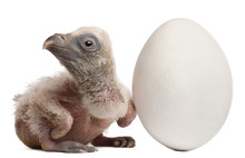 Griffon Vulture With His Egg, ...