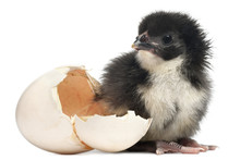 Chick, Gallus Gallus Domesticu...