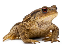Common Toad Or European Toad, ...