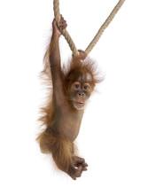 Baby Sumatran Orangutang (4 Mo...