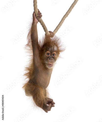 Baby Sumatran Orangutang (4 months old), hanging on a rope, studio shot