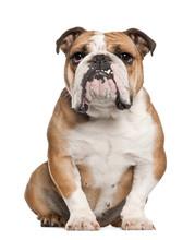 English Bulldog (5 Years Old)