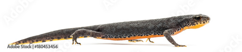 Alpine Newt walking, Ichthyosaura alpestris, formerly Triturus alpestris and Mesotriton alpestris against white background