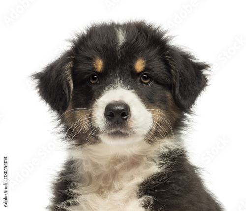 Fototapeta Close-up of an Australian Shepherd puppy, 2 months old, looking at camera against white background obraz na płótnie