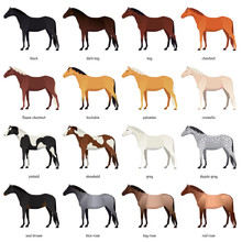 Vector Collection Of Various Horse Coats Colors - Black, Bay, Chestnut, Palomino, Cremello, Buckskin, Dapple Gray, Pinto, Roan. Most Common Equine Colors Set