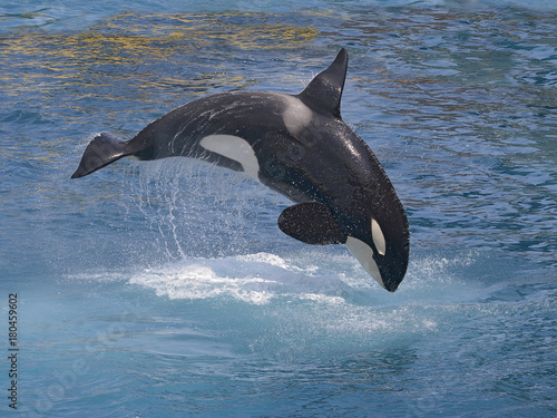 Fotografie, Obraz  killer whale (Orcinus orca) jumping out of the water