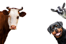 Group Of Pets - Dog, Cow, Goat