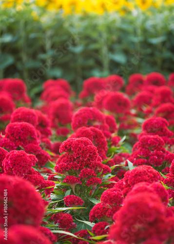 Fotografie, Obraz  many red cockscomb (celosia) flowers