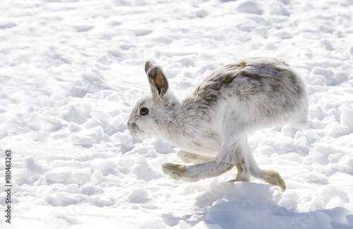 Snowshoe hare or Varying hare (Lepus americanus) running in winter snow in Canada