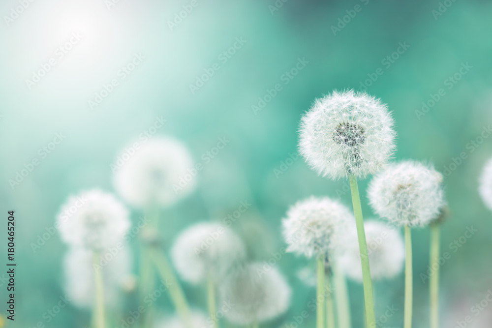 Fototapety, obrazy: White fluffy dandelions, natural green blurred spring background, selective focus